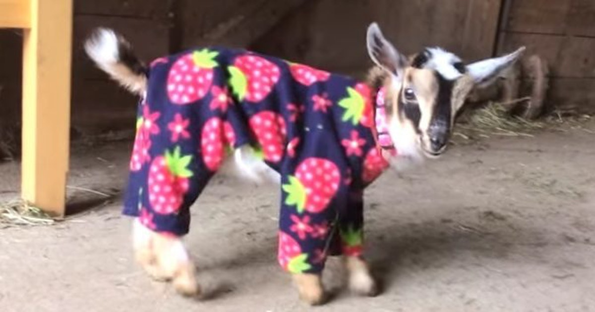 Baby Goats Wearing Pajamas Are The Cutest Things You Ll