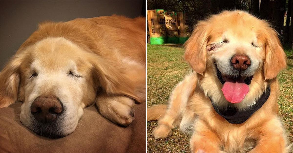 This Blind Therapy Dog Named Smiley Will Seriously Warm Your Heart - Born blind smiley the golden retriever becomes a loving therapy dog
