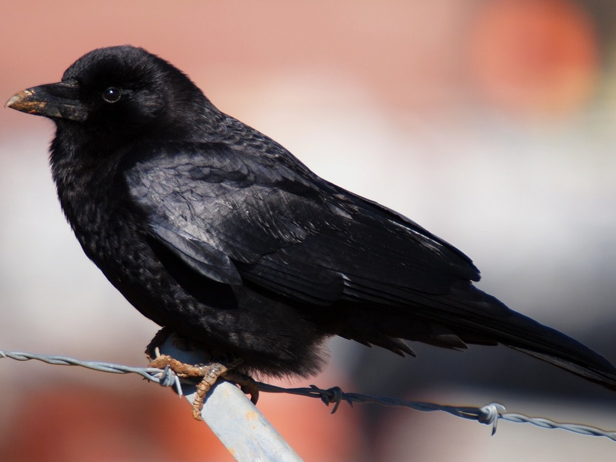 What does a tattoo of a crow mean the history of the symbol is what does a tattoo of a crow mean the history of the symbol is pretty mixed buycottarizona