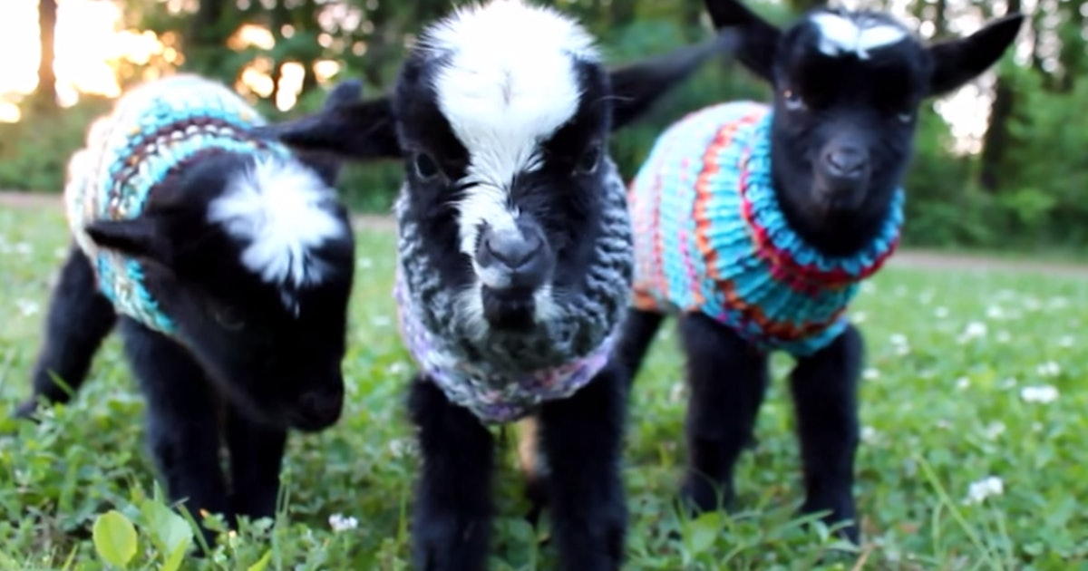 These Baby Goats Wearing Sweaters Are Not Only Super Cute