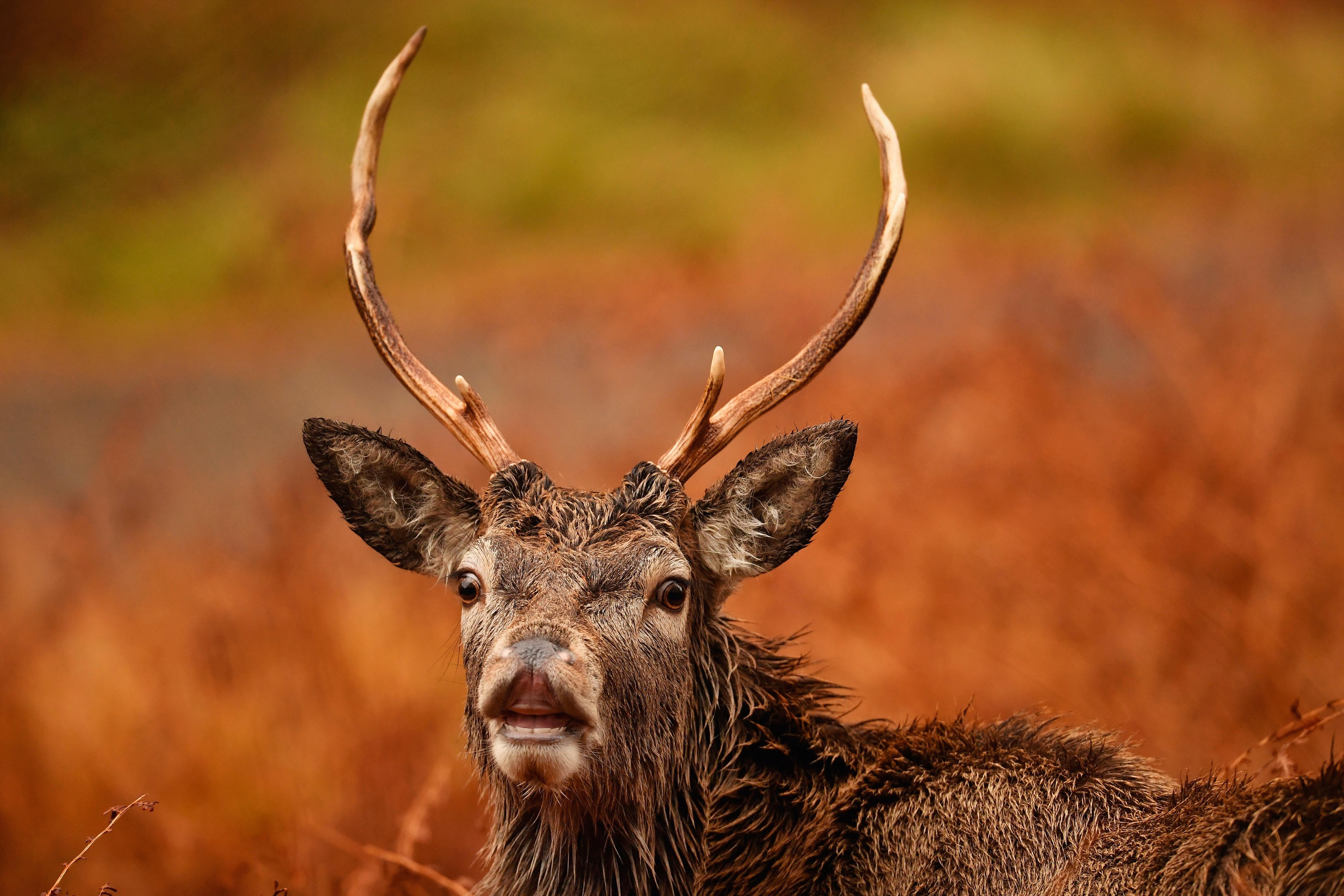 Mites Elk - a dangerous deer parasite