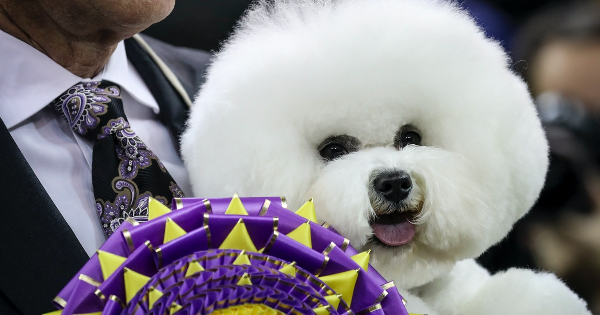 Are Bichon Frises Good Around Kids They Look Like The