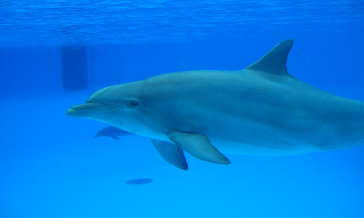 Dolphin Mating Strategies Involve Male Dolphins Bringing ...  Dolphin Mating ...